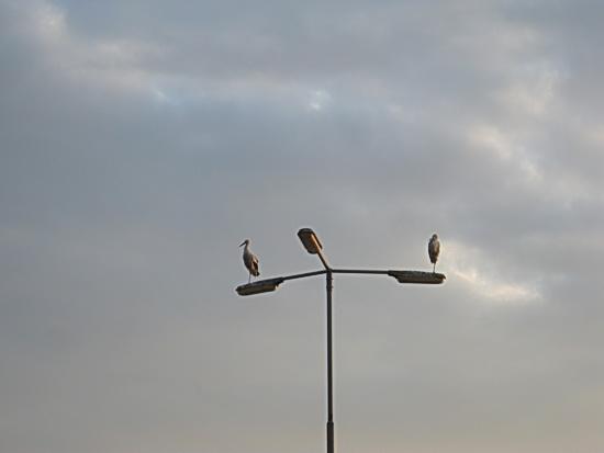 Op de armatuur van een van de lantarenpalen op de Koopmanparkeerplaats: Twee ooievaars! Rustig balancerend, ontspannen suffend, op één poot....