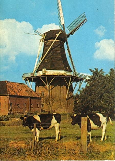 eerste koeien SvdV