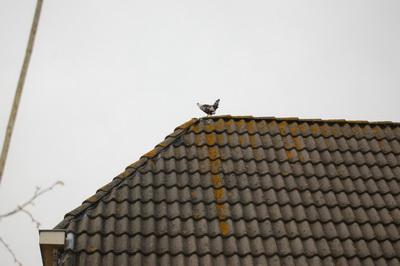FM Kip op dak 0DSC_0104 verkl